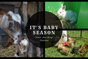 It's Baby Season On The Homestead!