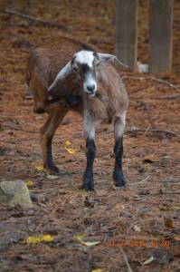Kinder Goat Doe