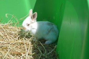 Brown and white bunny