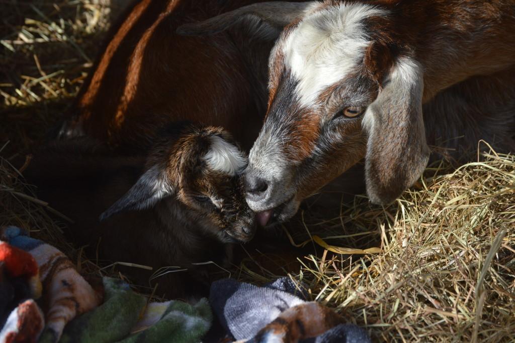 Baby kinder goat