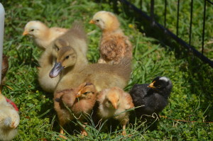 Chicks and Ducklings